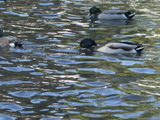 Ducks on the pond.jpg